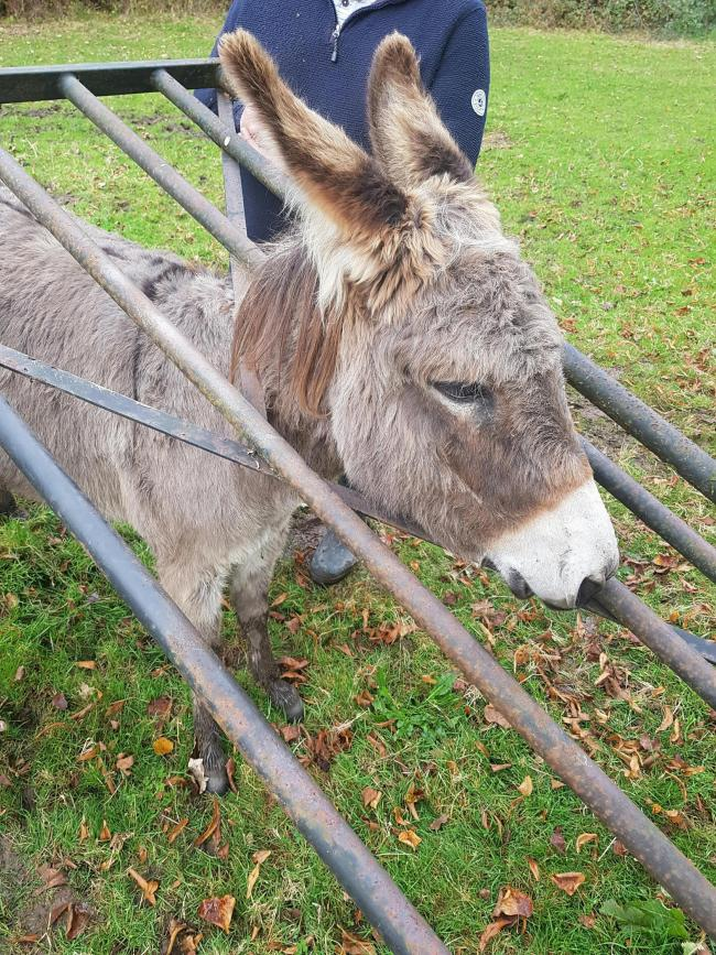 Mable the donkey was stuck in the metal fence.