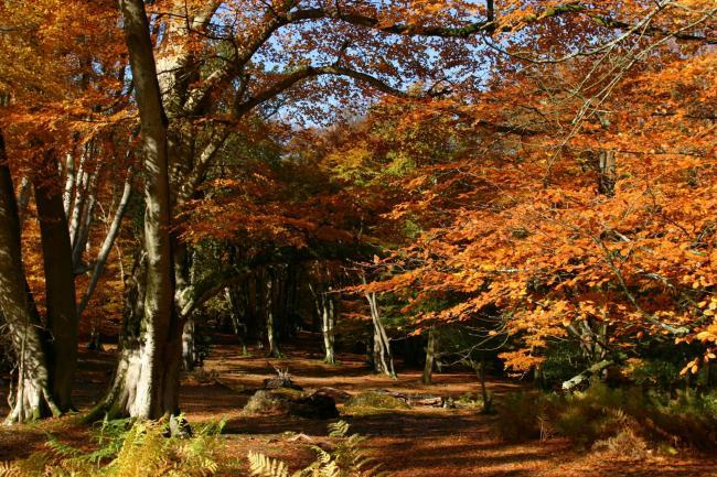New Forest - autumn leaves.